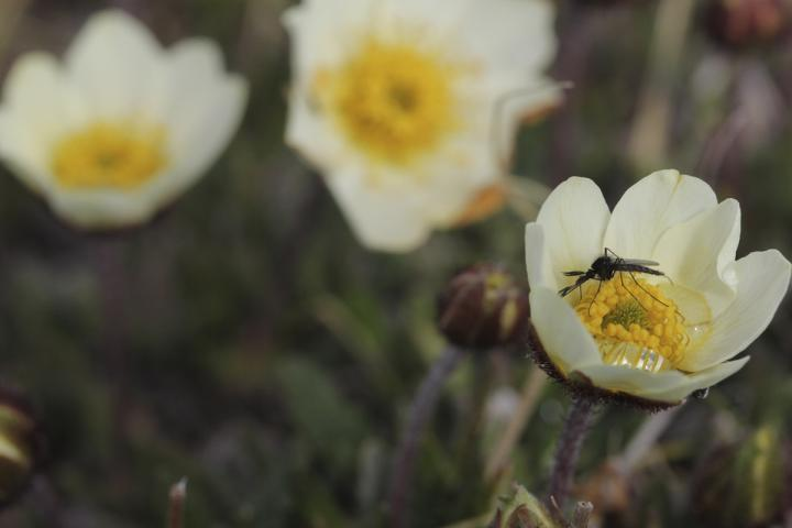 A Pollinator in the Arctic.