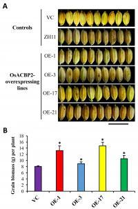 Protein Enhance Grain Size