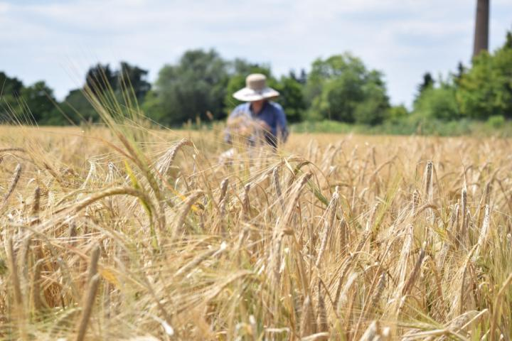 A field of barley near Halle