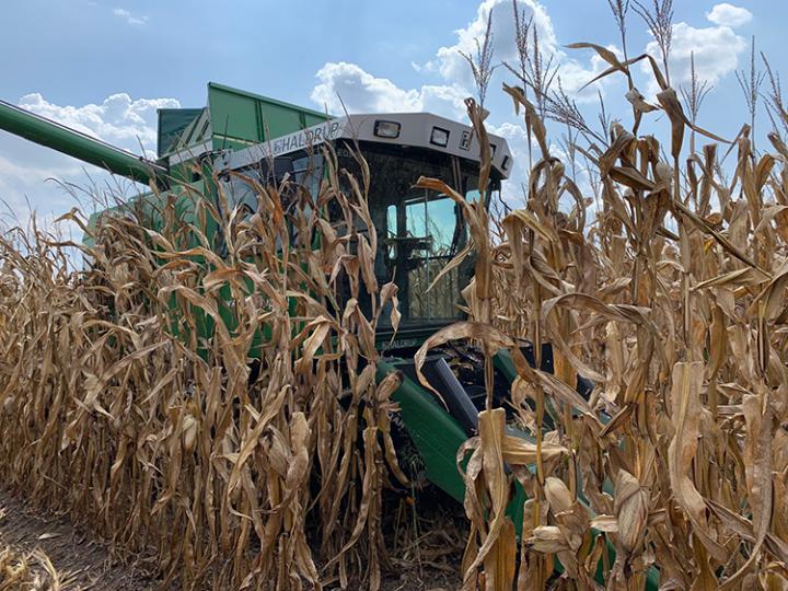 Corn hybrid fields harvesting