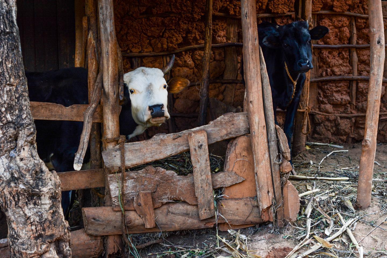 Livestock Tanzania