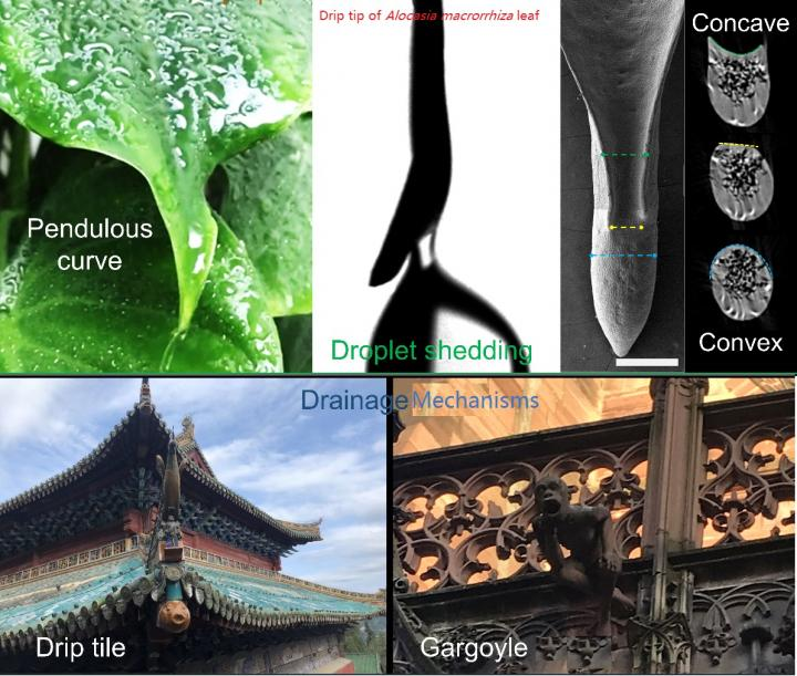 The Drainage Wisdom of Leaf Apex and Ancient Architecture