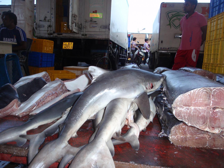 Shark Catches in Sri Lanka