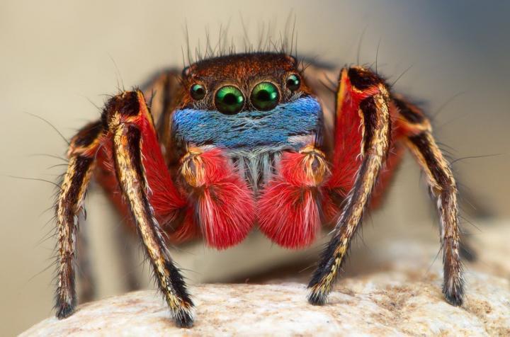North American <i>Habronattus</i> Male Jumping Spider