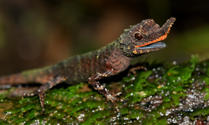 male rough-nosed horned lizard (2)