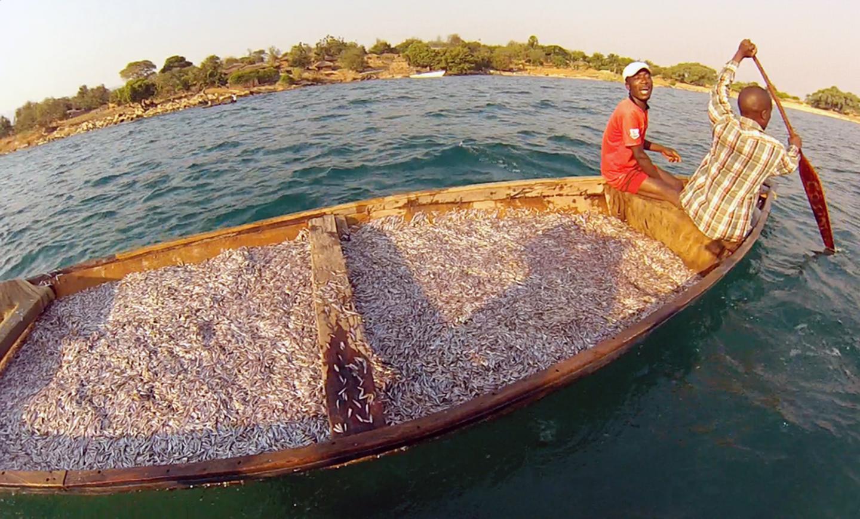 Sardine Catch