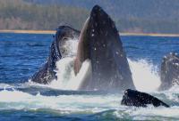 Humpback Whale Feeding Using Baleen