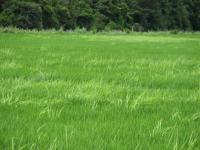 A Field Infested with weedy Rice
