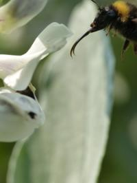 Bee approaching a white flower