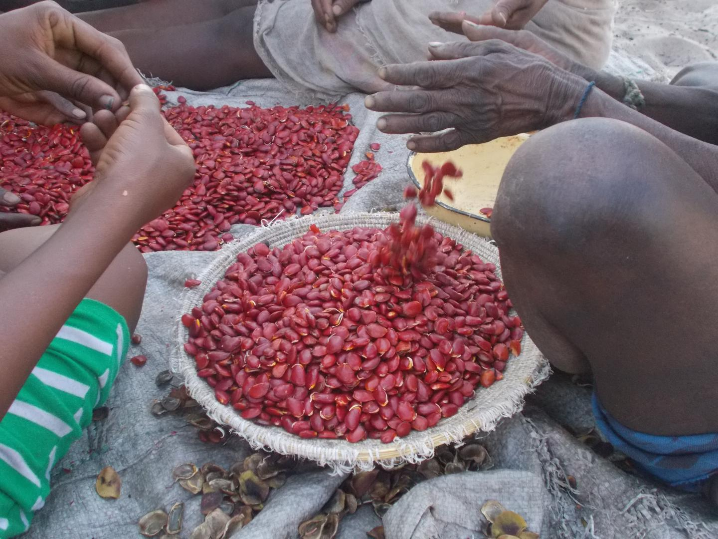 The Khwe San tribe's traditional food: Tceu