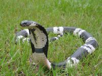 How Cobras Developed Flesh-Eating Venom