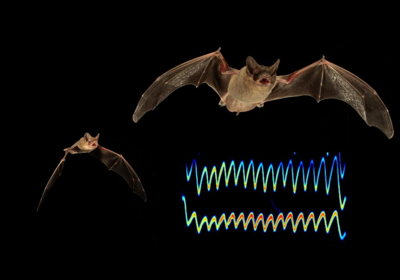 Sonar Jamming Bats