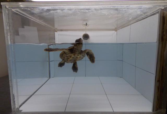 Loggerhead Turtle Sniffing Air