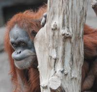 Orangutan Dokana