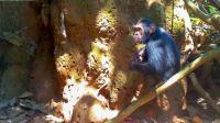 Juvenile Male Chimpanzee