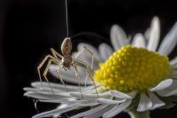 Ballooning Spider (2 of 2)