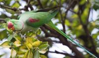 Alexandrine Parakeet (<i>Psittacula eupatria</i>)