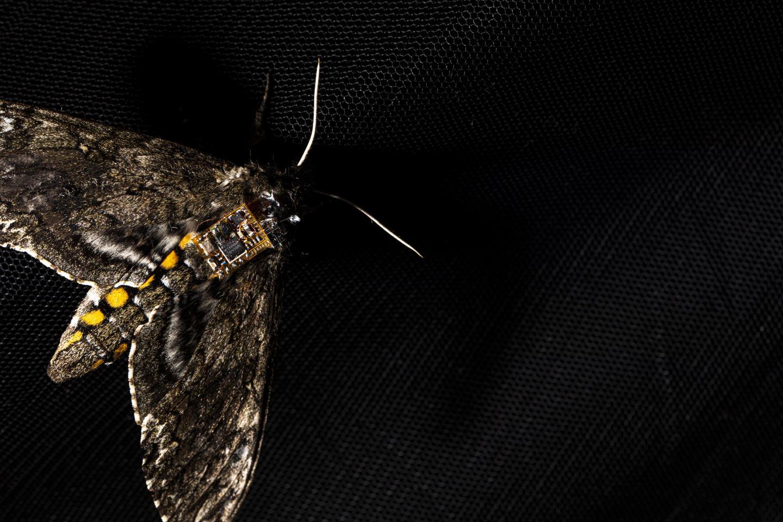 A moth carrying a sensor