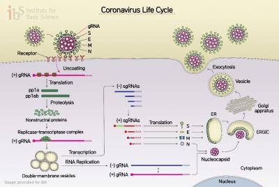 Figure 1 The life cycle of SARS-CoV-2