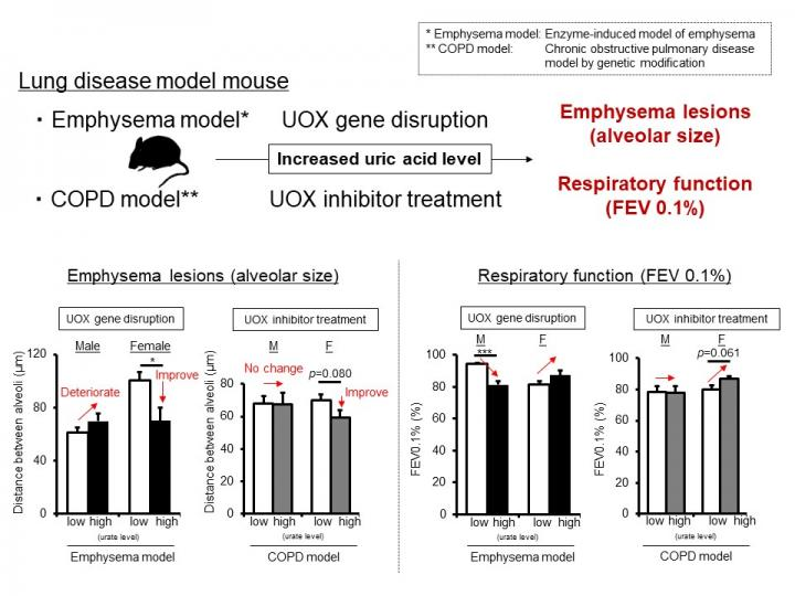 Lung Disease Mouse Model with High Blood Uric Acid Levels