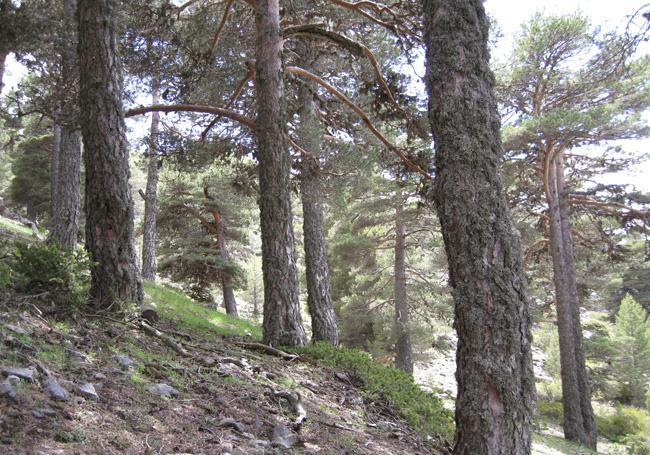 <i>Pinus sylvestris</i>