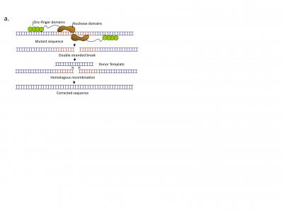 Genome Editing Using Zinc Finger Nucleases (ZFNs)