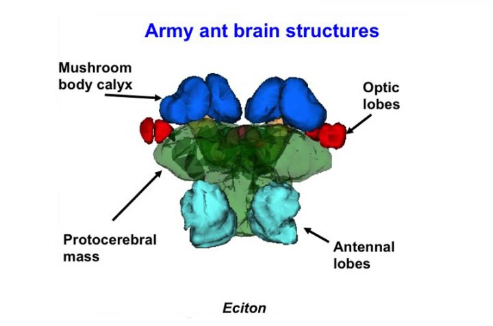 Brain Components of Ants