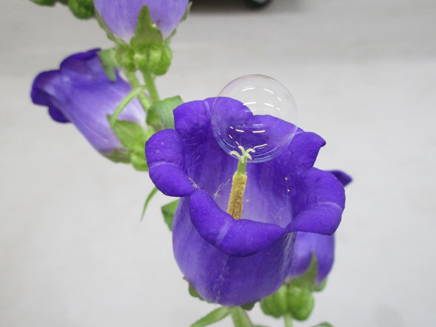 Soap Bubble Pollinating a Flower