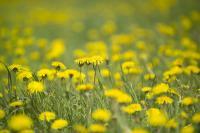 Common Dandelion (<i>Taraxacum officinale</i>) (1 of 2)