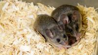 California Mice