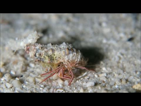 New Hermit Crab Species <I>Pylopaguropsis mollymullerae</i>
