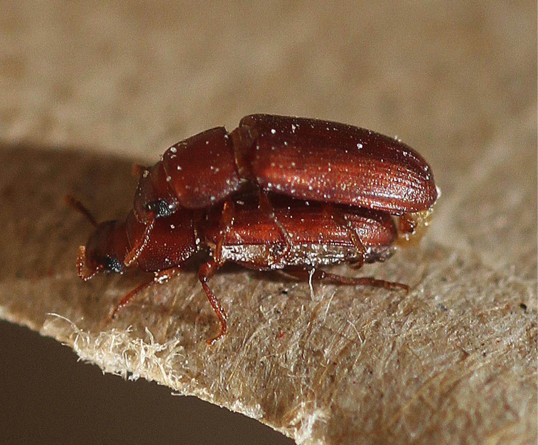 Mating Flour Beetles