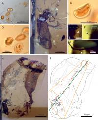 <em>Darwinylus marcosi</em> Beetle and Pollen in Amber