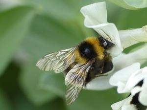 Bee climbing into a flower