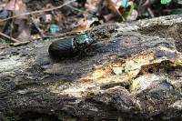 Bessbug beetle