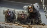 Common Marmosets at the Animal Husbandry of the German Primate Center