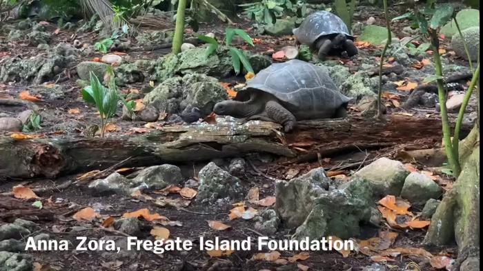 Tortoise hunting a tern chick
