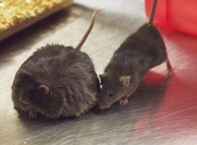 An Obese and a Thin Mouse