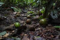 Fruits on the Forest Floor 2 (Marizilda Cruppe, Rede Amazônia Sustentável)