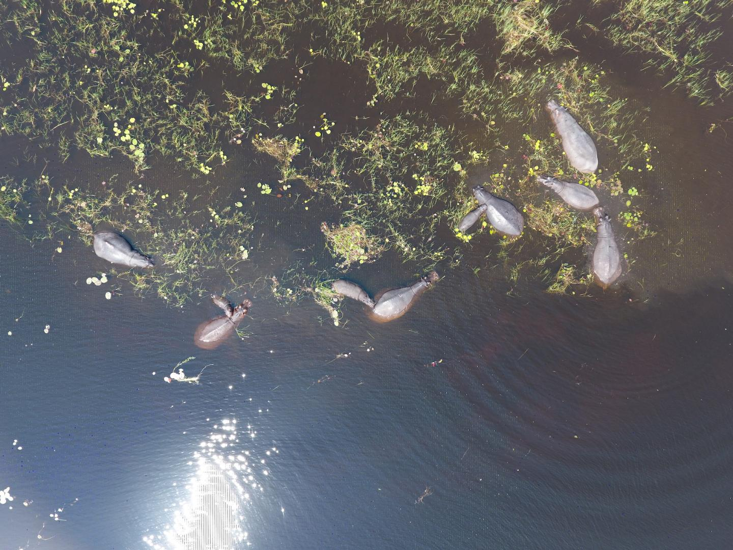 Aerial Image of Hippos Taken from a Drone 1/2