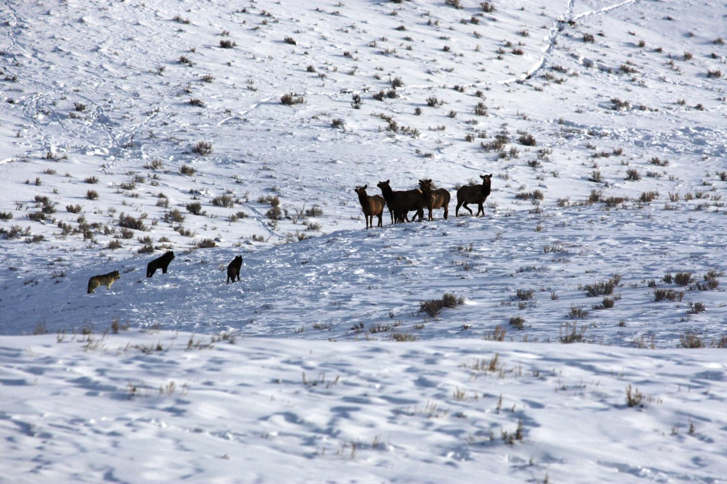 Wolves and Elk in Yellowstone