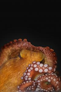 Octopus in active sleep