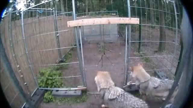 A Video of a Pair of Wolves Engaged in the Cooperation Task.
