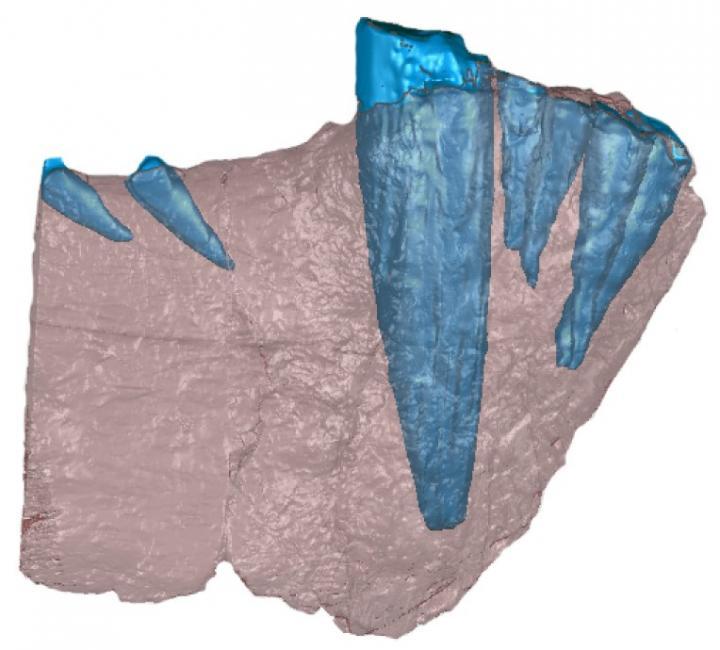 Gorgonopsid Jaw (CT)