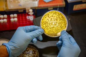 Microbes growing in in the lab of chemist Ben Shen, PhD