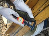 Measuring a smallmouth bass