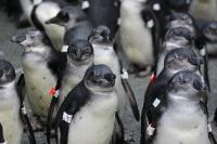Juvenile African Penguins