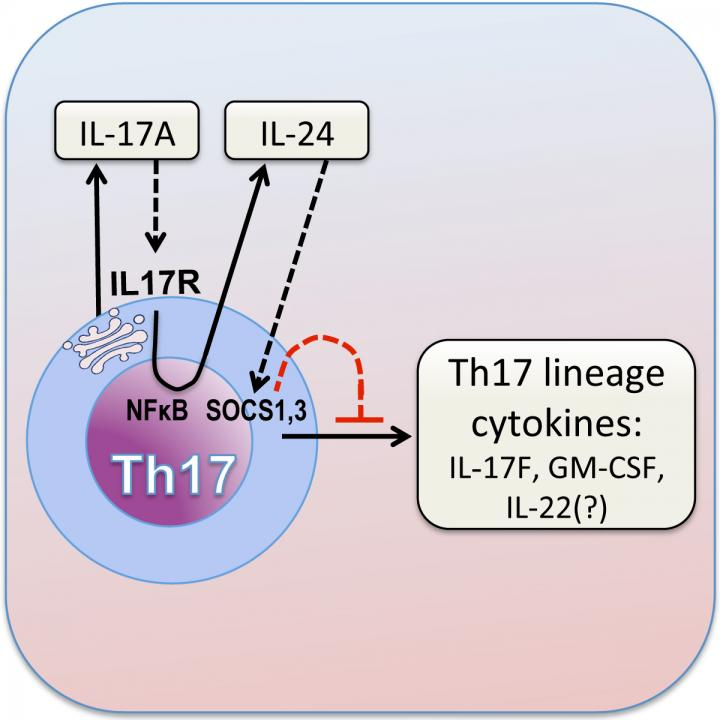 IL-17 Autocrine Loop