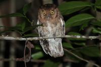 Alagoas Screech Owl
