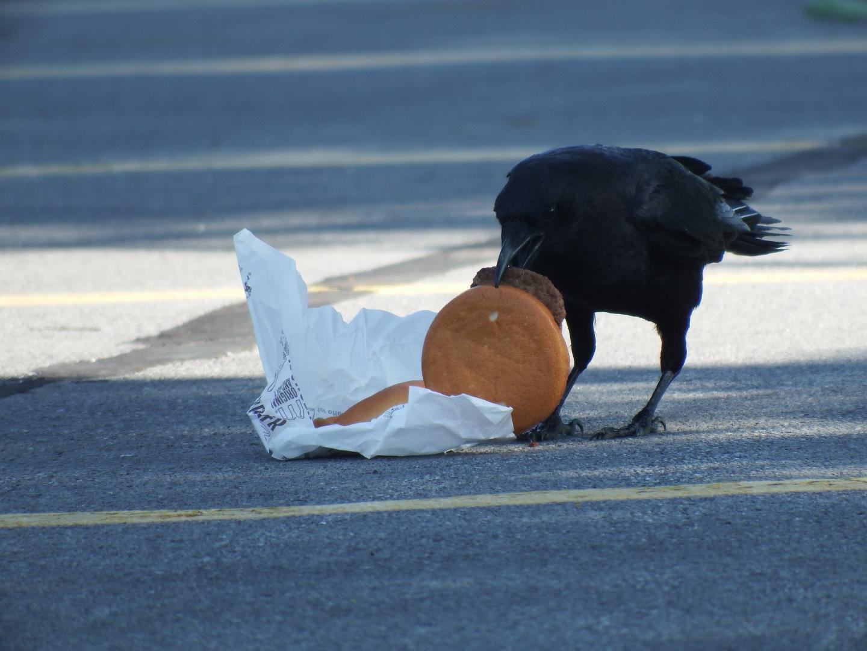 Crow Eating Cheeseburger